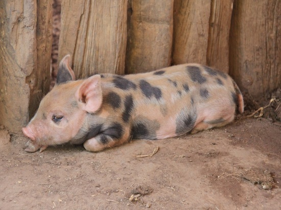 Глава Минсельхоза удивил президента докладом о поставках свиного мяса исламским странам