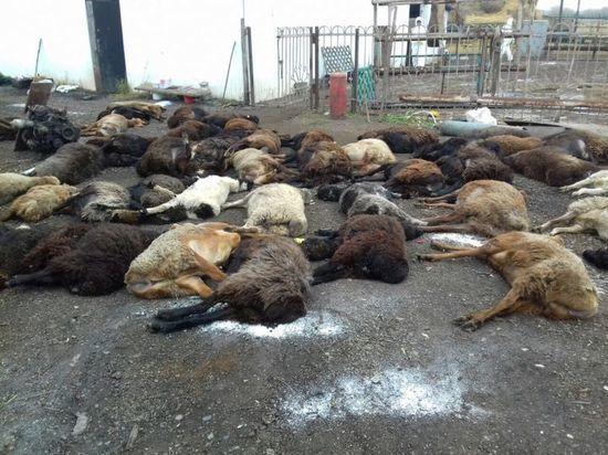 Вирус попал в Башкирию «через овец, завезенных предположительно из Средней Азии».