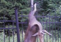 Выявлены виновники страшной смерти лосей на ограде «Лосиного острова»
