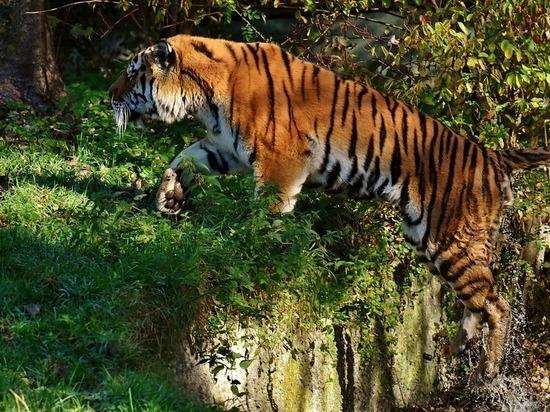 Тигры-людоеды - Семейство кошачьих | 412x550