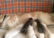 В зоопарке под Владивостоком ретривер Тесси стала кормилицей для детенышей диких зверей