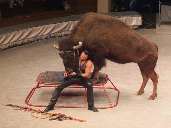 В воронежском цирке оседлали бизона и заставили летать медведей