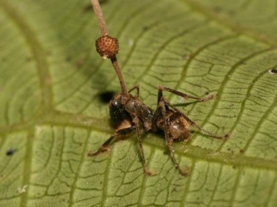 Раскрыта неожиданная тайна паразита, превращающего муравьев в зомби