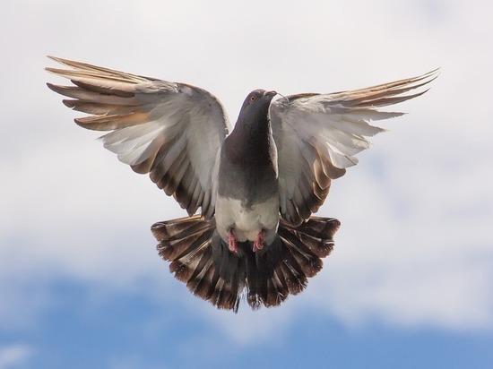 Голуби общаются с помощью крыльев, выяснили зоологи