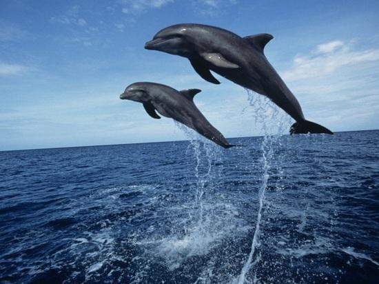 Черноморские дельфины потянулись к Крымскому мосту