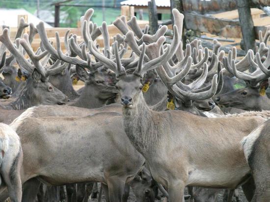 Животноводы Чарышского района обеспечили рост аграрной отрасли
