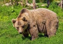 Установщики вывески в Клину наткнулись на медведя-шатуна
