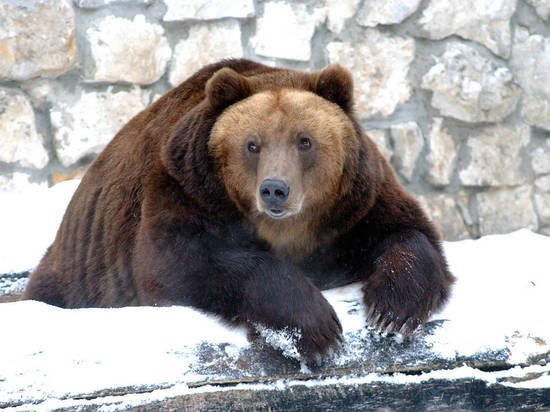 Работники зоопарка рассказали, зачем медведям выдали сено перед спячкой