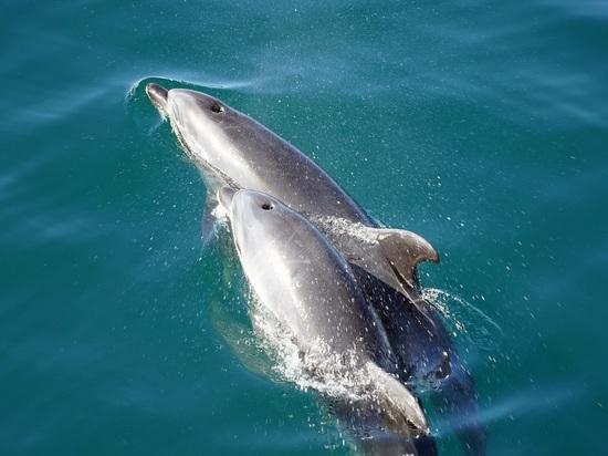Российские океанологи: грязная вода губит дельфинов Черного моря