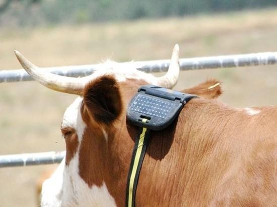 Путин заинтересовался делом фермера, которого судят за GPS-трекер для теленка