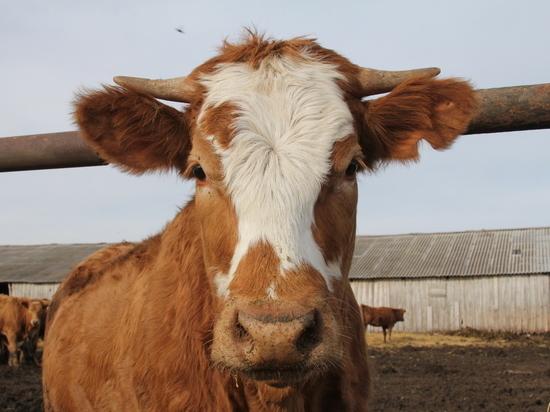 В Башкирии девятиклассники украли корову, чтобы съесть на Новый год