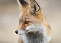 Заменили бродячих собак: экологи объяснили нашествие лис в центре Москвы