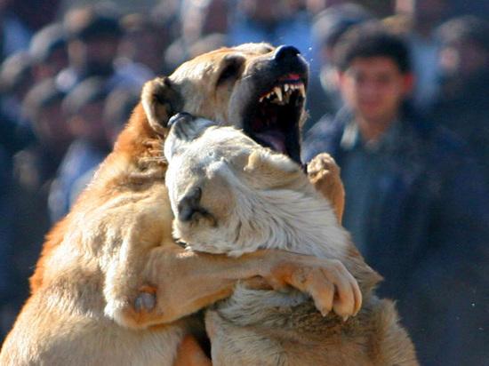 В Волгограде активизировались организаторы собачьих боев