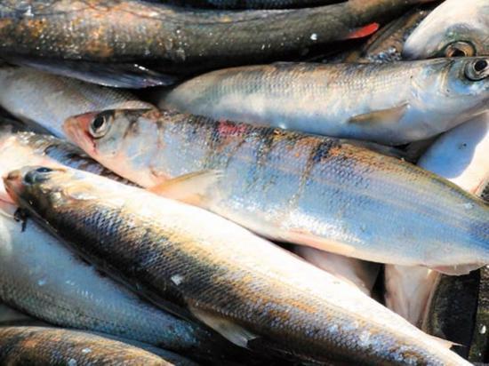Местной рыбы станет больше