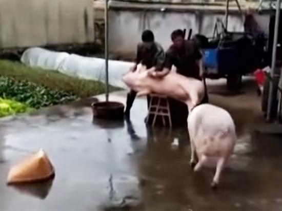 Видео спасения свиньи другой свиньей от ножа мясников покорило СМИ