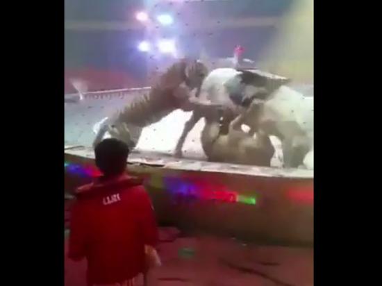 Появилось видео нападения тигра и львицы на цирковую лошадь