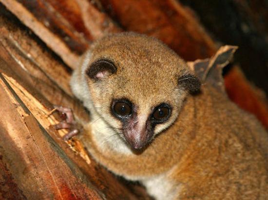 На Мадагаскаре обнаружен новый вид лемуров