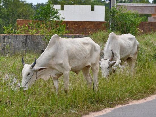 Минсельхоз признал: молочное импортозамещение провалилось