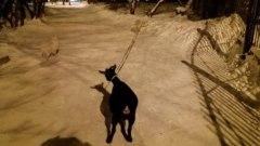 Собаки выгуливают козу по омским улицам