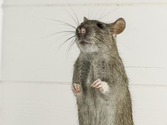 Сибирские ученые научились отличать стресс от депрессии с помощью мышей