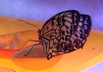 Филиппинские бабочки прилетели в Кострому на 10 дней