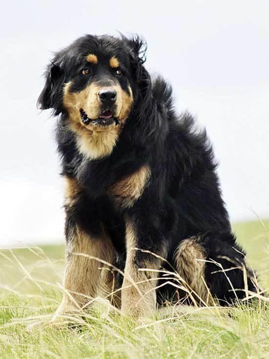 черно рыжая собака