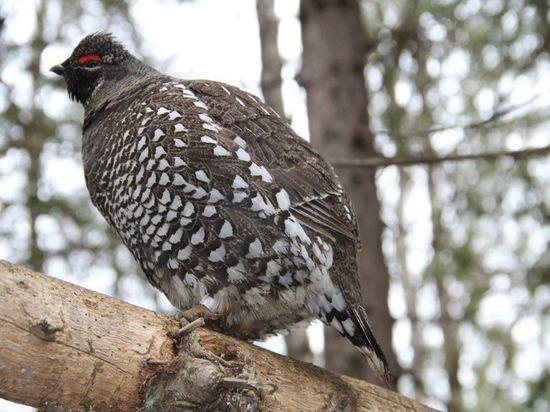 Новосибирская наука спасает дикушу и других птиц