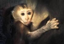 Московские зоологи раскрыли детали меню мамы и младенца львинохвостой макаки