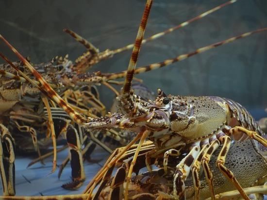 Закон о гуманном отношении к омарам заработал в Швейцарии
