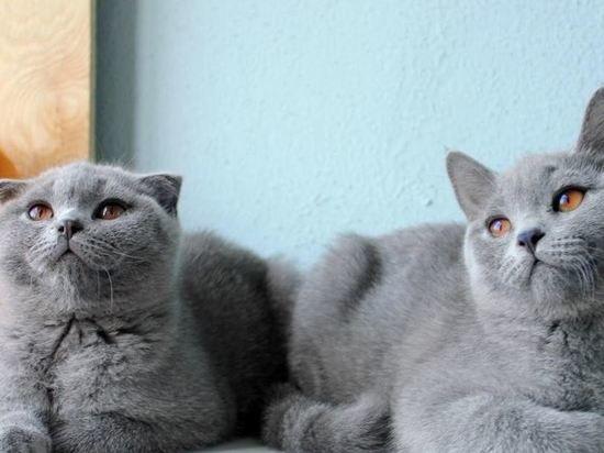 фото шотландцы. кошки. и британцы