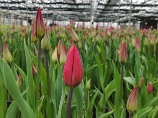 Роза любит одиночество: раскрыт секрет выбора цветов к 8 марта