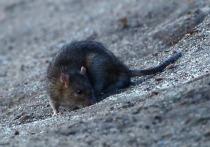 В метро крыса напала на уборщицу, притаившись в рукаве куртки