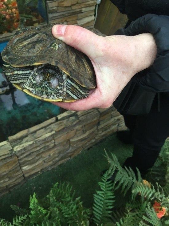 Зоозащитники предложили защитить красноухих черепах от массовой гибели повышением цен