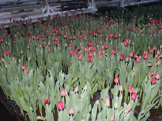 400 тысяч цветов вырастили в «Тепличном» к 8 марта