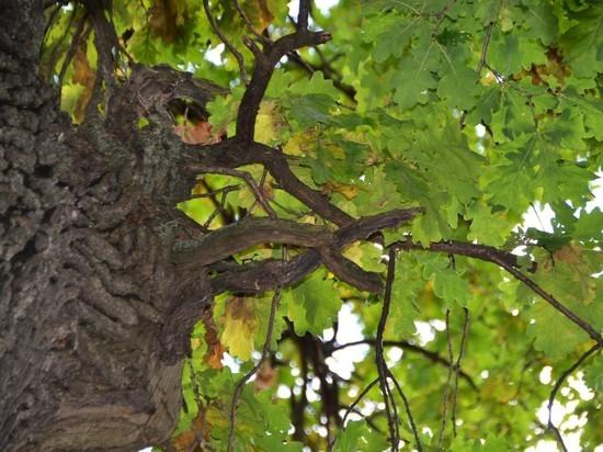 Два вековых дерева в Тамбовской области признаны памятниками природы