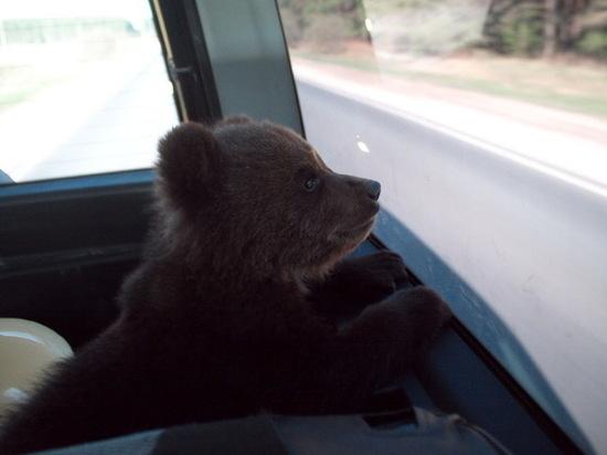 Спасенный нижегородцами медвежонок отметил день рождения