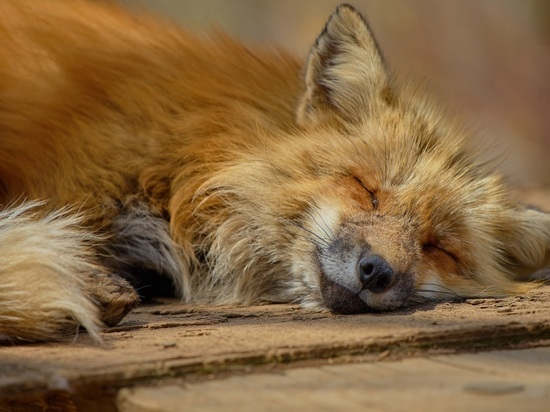 Жители Северного Чертанова пожаловались на лисиц во дворах