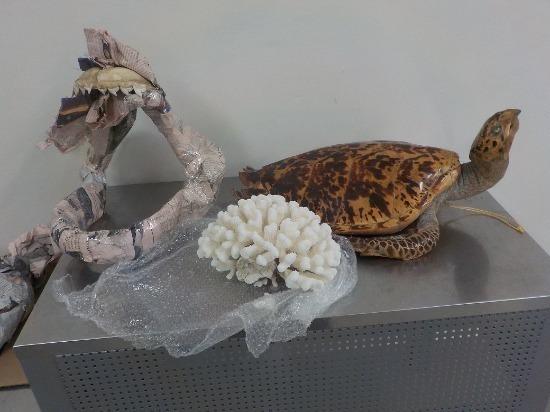 В Самарскую область незаконно ввезли чучело черепахи, челюсть акулы и коралл