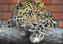 У леопарда из Московского зоопарка состоялось первое свидание с невестой