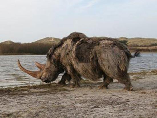 В Петербурге строители обнаружили останки маленького шерстистого носорога