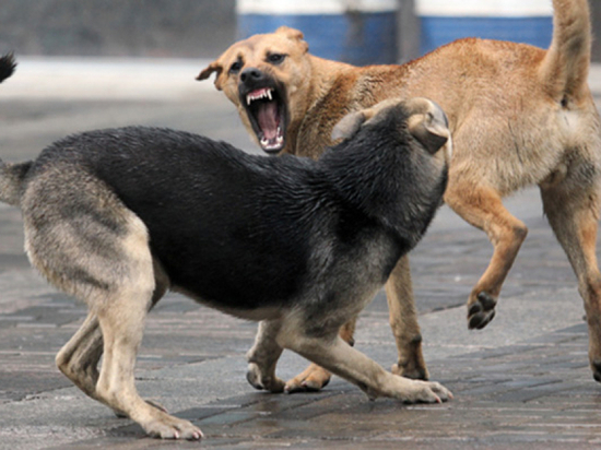 В Улан-Удэ бездомные псы не только нападают на детей, но и пытаются их «насиловать»
