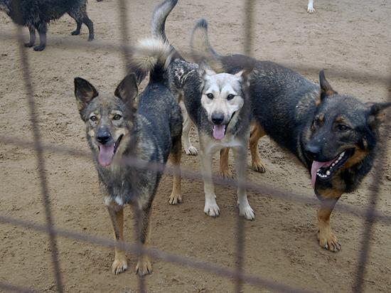 После нападения собак-людоедов в Истре эксперты обсудили проблему