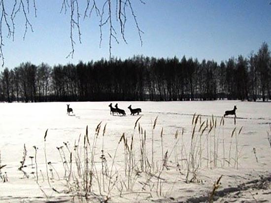 В Омской области увеличится популяция охотничьих животных