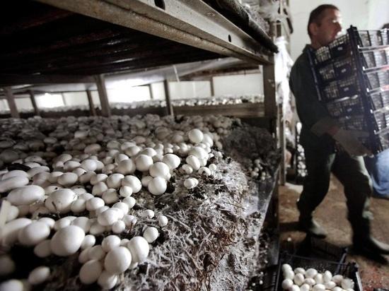 Производство шампиньонов откроют в Костромской области