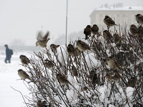 Куда исчезли московские воробьи: вывод орнитологов