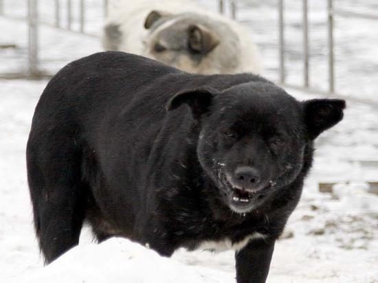 В Салехарде стая диких собак чуть не растерзала восьмилетнего ребенка