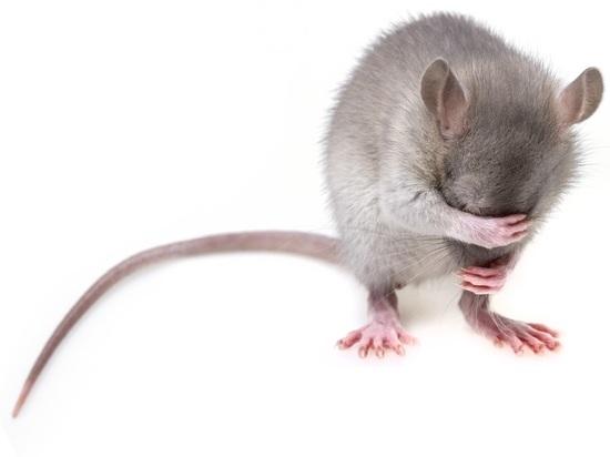 Специалисты научились дистанционно управлять поведением мышей, превратив их в «киборгов»