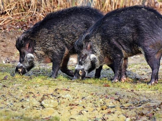 Кабан или пропал: владельцев охотугодий предложили штрафовать за неверный учет