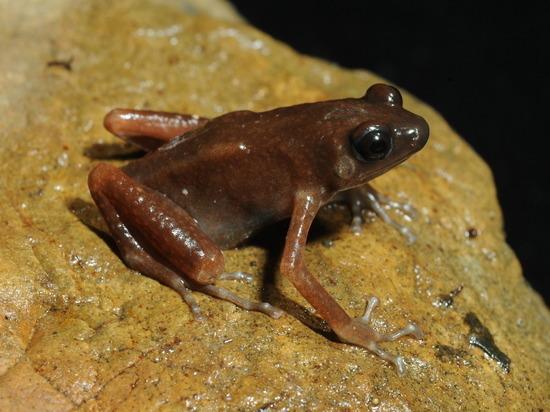 Российские ученые обнаружили новый вид лягушек в тайской пещере