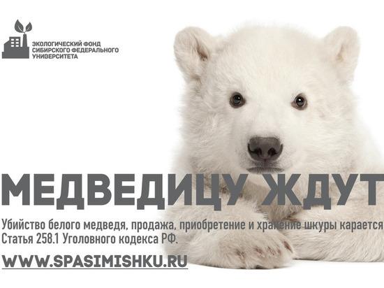 Экофонд СФУ и ПОРА запускают проект «Сохраним белого медведя»